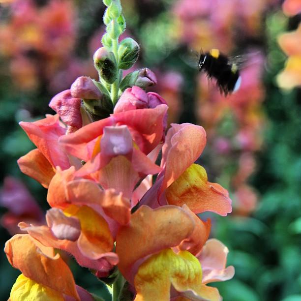 Instagram Foto - #Biene im #Nordpark leider mit etwas Bewegungsunschärfe