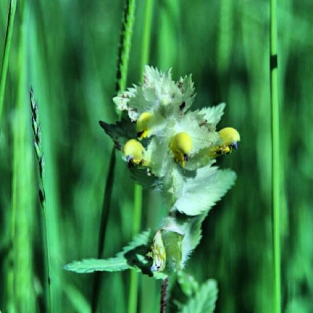 Instagram Foto - #Goldnessel : Ich glaub so hieß die Pflanze