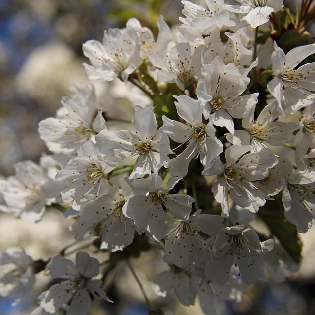 Foto - #Kirschblüte #Vogelkirsche #Blüte #Prunus #avium #Nofilter