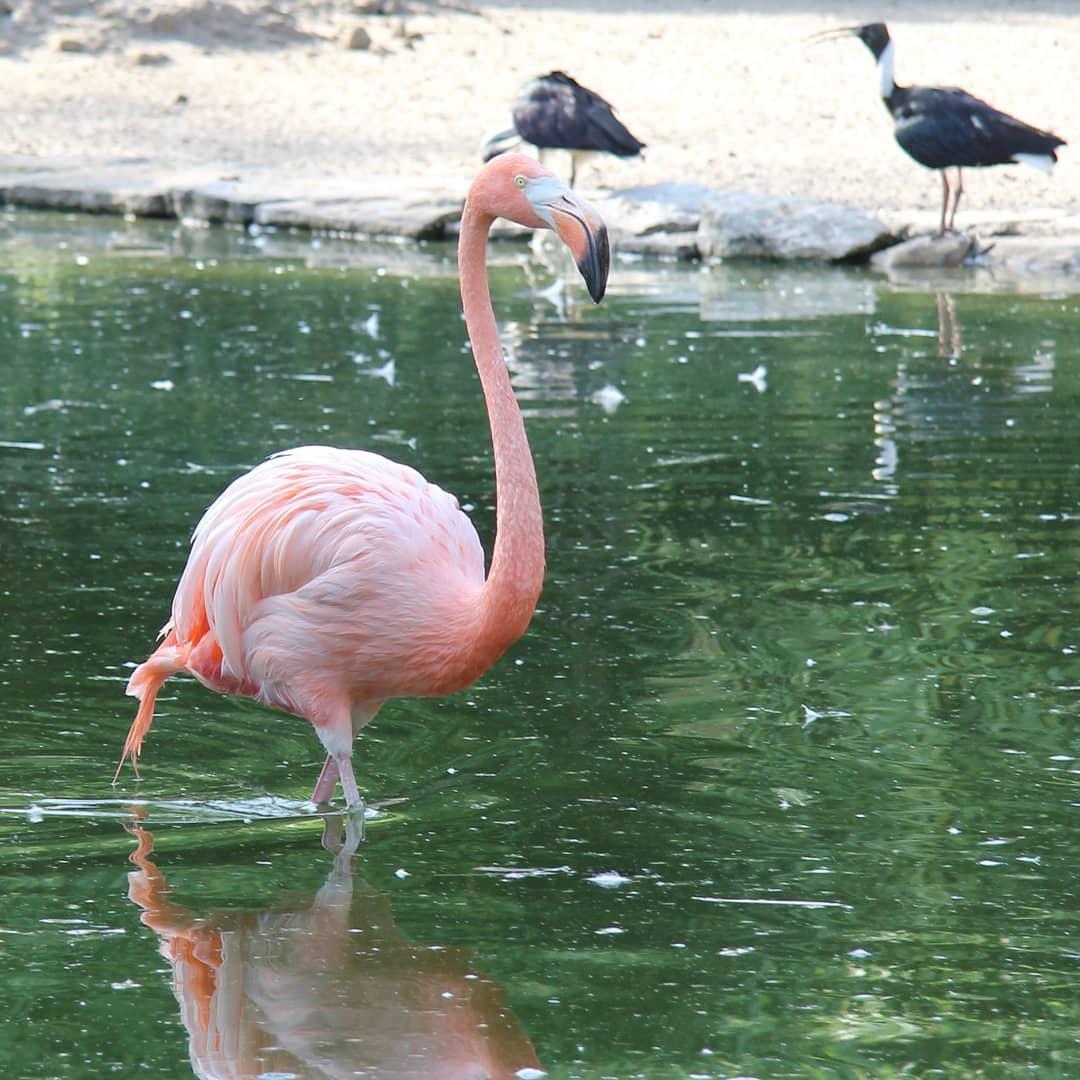 Foto - Flamingo im @grugapark in Essen #grugapark #essen #Tiere