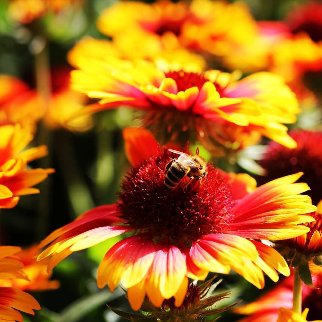 Foto - Blume mit Biene im Grugapark